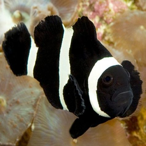 Black Saddleback Clownfish
