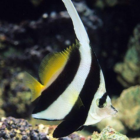 Black & White Heniochus Butterflyfish