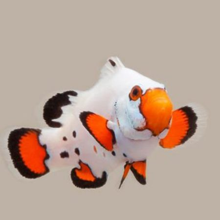 Chilled Frostbite Clownfish Tank Raised