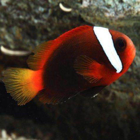 Cinnamon Clownfish Tank Raised