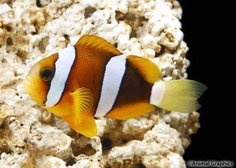 Clarki Clownfish Tank Raised