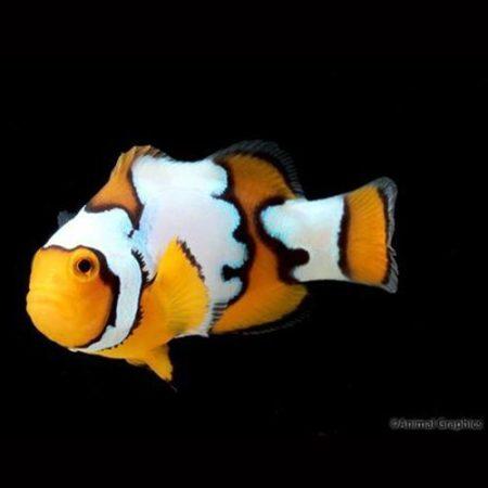 Extreme Snow Onyx Clownfish Tank Raised