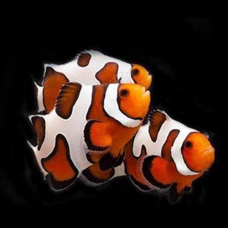 Fancy White Ocellaris Clownfish Tank Raised