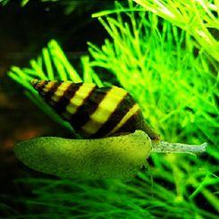 FreshwaterAquaticSnails