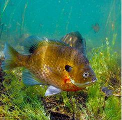 Gamefish-Bluegill2014