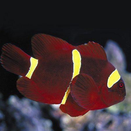 Gold Stripe Maroon Clownfish