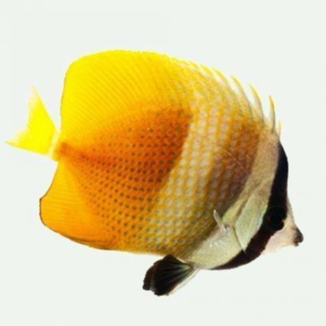 Klein's Blue Head Butterflyfish