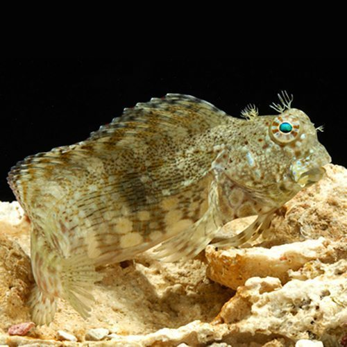 Lawn Mower Blenny