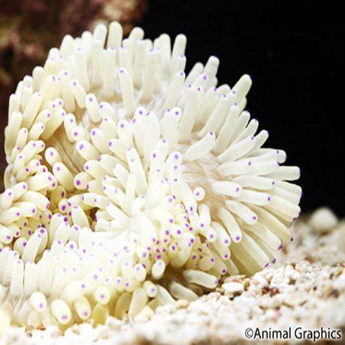 White Sebae Anemone