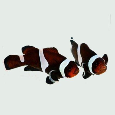 Black Ocellaris Darwin Clownfish Tank Raised