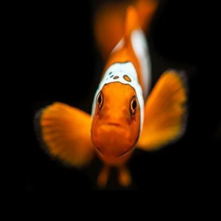 Lightning Maroon Clownfish Tank Raised