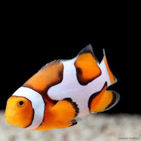 Picasso Clownfish Tank Raised