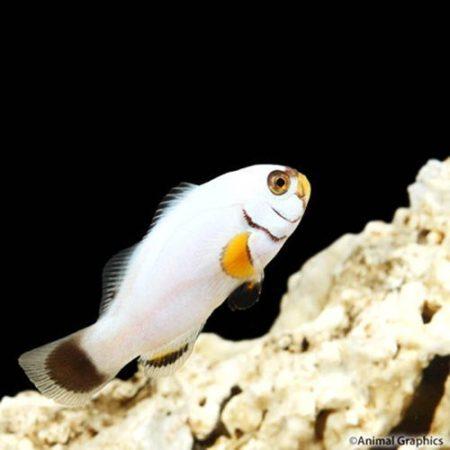 Platinum Percula Clownfish Tank Raised