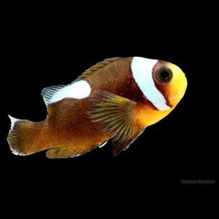 Saddle Back Clownfish Tank Raised
