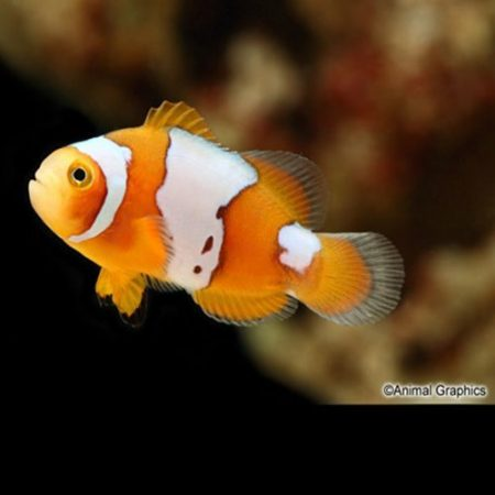Snow Onyx Clownfish Tank Raised