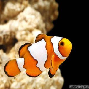 Snowflake Ocellaris Clownfish Tank Raised