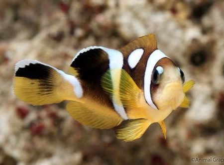 Spotcinctus Clownfish Tank Raised