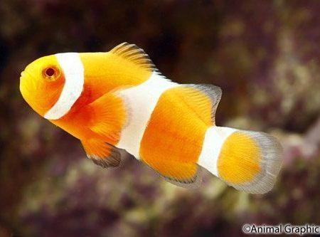 Tangerine Ocellaris Clownfish Tank Raised