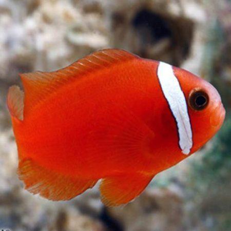 Tomato Clownfish Tank Raised