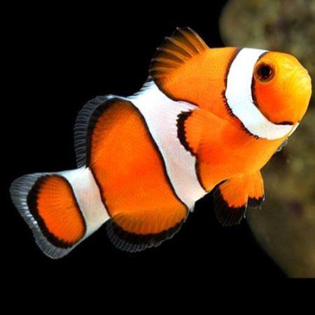 True Percula Clownfish Tank Raised