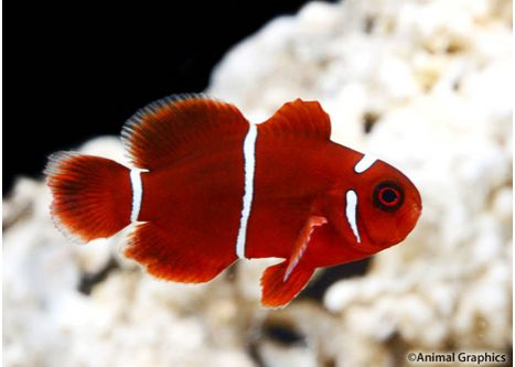 White Stripe Maroon Clownfish Tank Raised