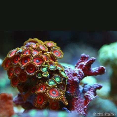Polyps Assorted Zoanthid Frag