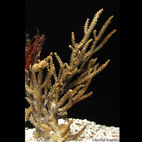 Soft Spiny Gorgonian Coral