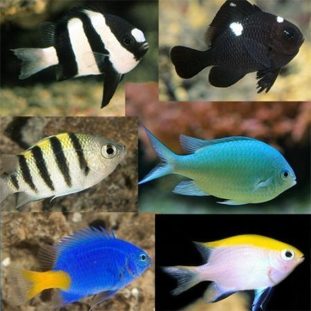 Assorted Chromis & Damsel Packs