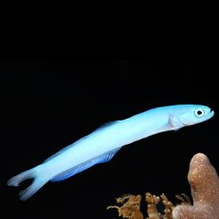 Marine Goby Blue Gudgeon