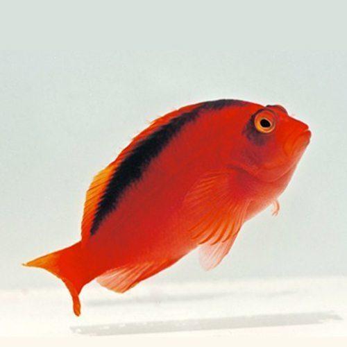 Flame Tahiti Hawkfish