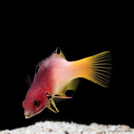 Lyretail Hogfish Red Sea