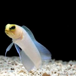 Marine Jawfish Pearly