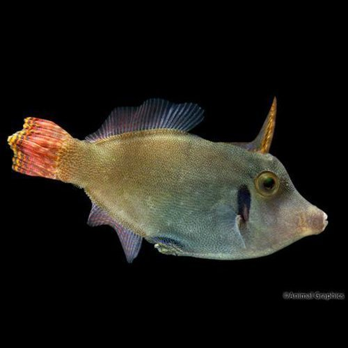 Redtail Filefish