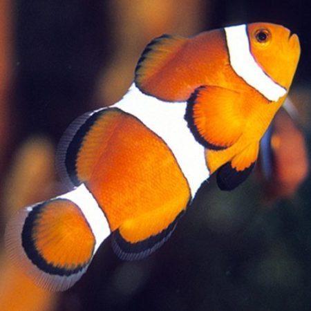 Ocellaris Clownfish Tank Raised