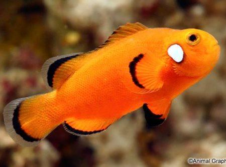 Orange Domino Ocellaris Clownfish Tank Raised