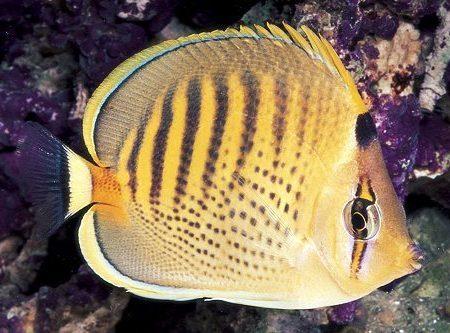 Punctato Butterflyfish