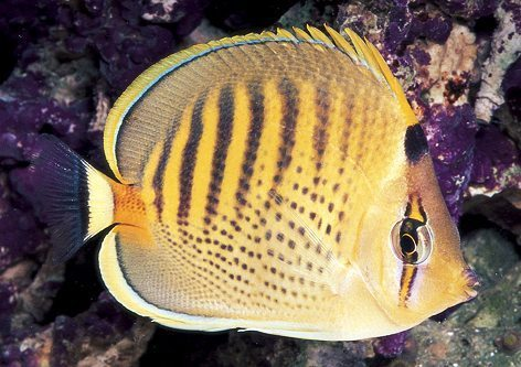 Punctato Butterflyfish
