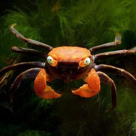 Sandfire Vampire Crab
