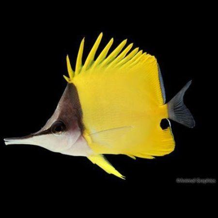 Yellow Longnose Butterflyfish