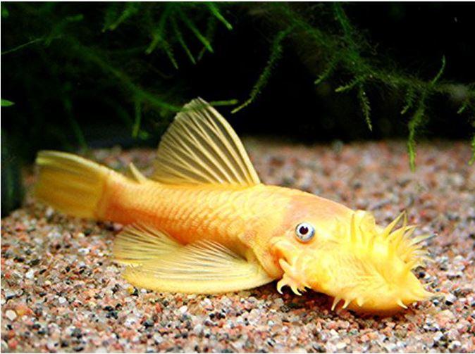 Albino Bushynose Pleco L-144