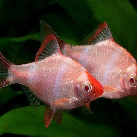 Albino Tiger Barb Aquarium Fish