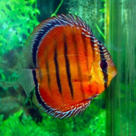Alenquer Red Discus Fish 20 Pack