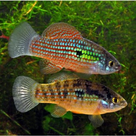 Algae Eating Adult American Flag Fish