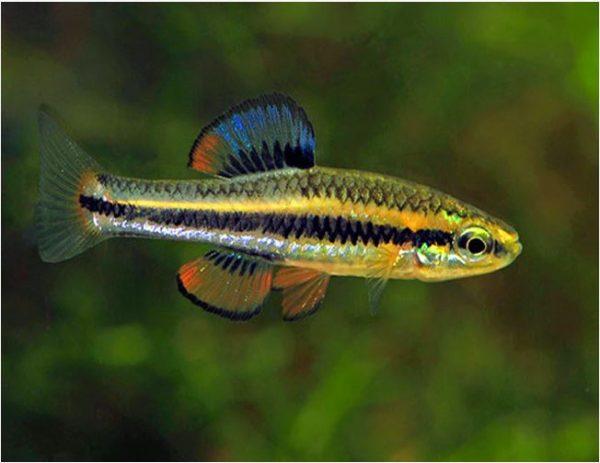 Algae Eating Bluefin Killifish Male
