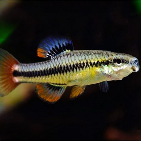 Bluefin killifish Male