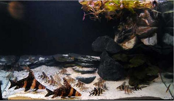 Algae Eating Chinese High Fin Large Banded Shark Batfish