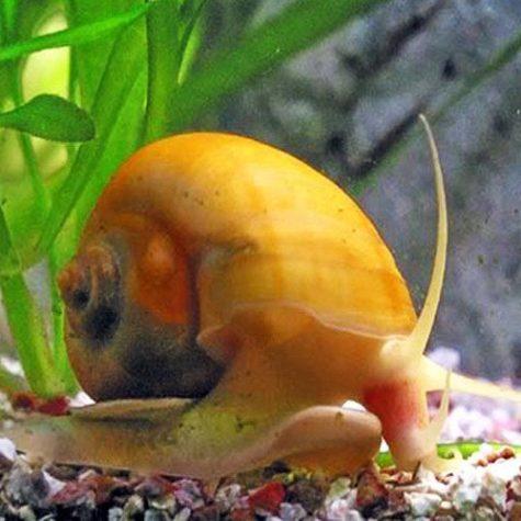Algae Eating Honey Gem Bush Grazer Snail