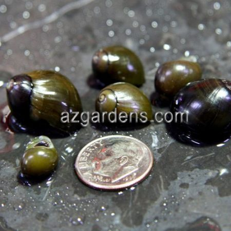 Algae Eating Olive Nerite Snail SUPER SIZE