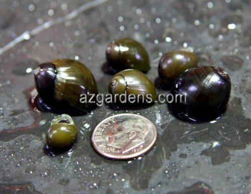 Algae Eating Olive Nerite Snail SUPER SIZE