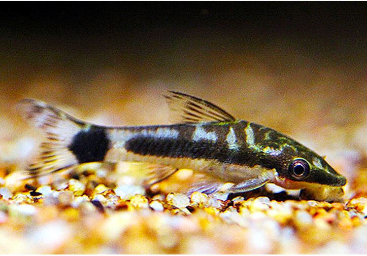 Algae Eating Otocinclus Freshwater Tank Fish